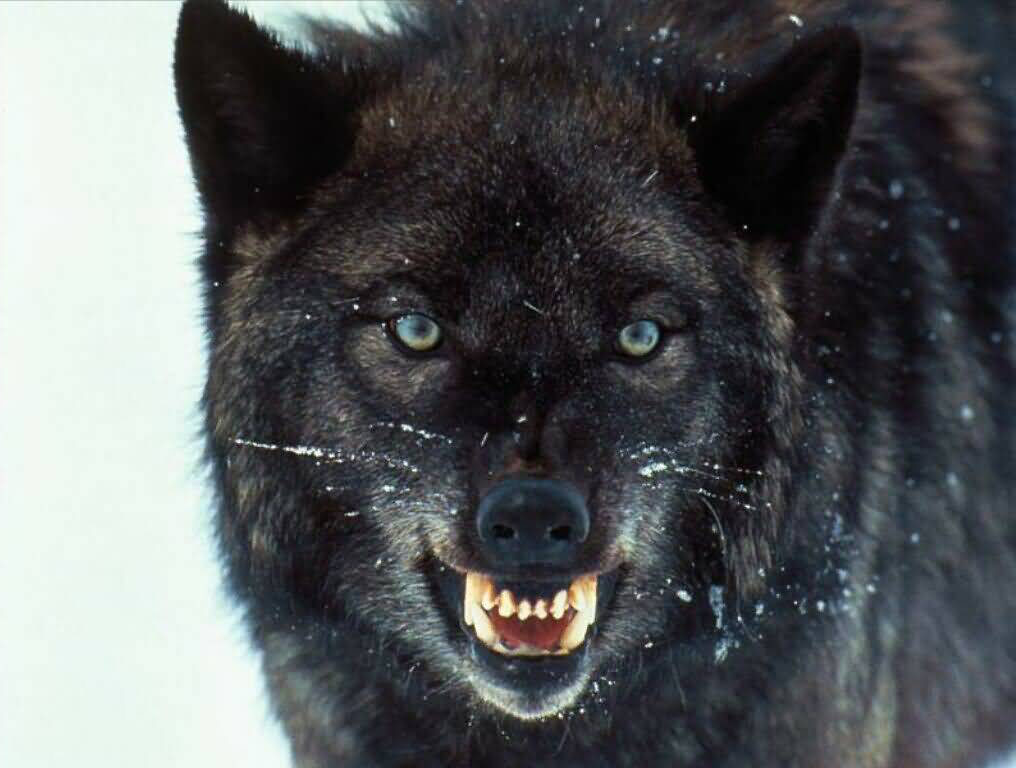 lobo3
